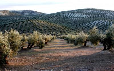 Plantación de olivos en Jaén